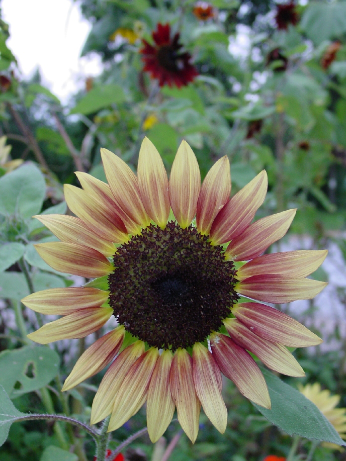 sunflower, sunflowers, colored, variagated, mt. meigs, mtmeigs, montgomery, eastern, east, pikeroad, pike road, pike, road, meigs, public, garden, vintage, heirloom, musicbox, music, box, geotagged